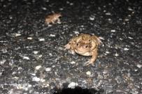 Kurbağaların Ormandan Gölete 5 Bin Yıllık Üreme Göçü Başladı