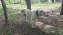 Pitbull Cinsi Köpeği Bıçaklayan Şahıslar, Sahibini De Dövdü