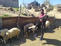 Öğretmen Kayıp Kuzu Ve Koçlara Sahip Çıktı, Sahibini Arıyor