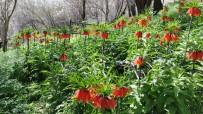 Bahçesaray İlçesinde Açan Ters Laleler Göz Kamaştırıyor