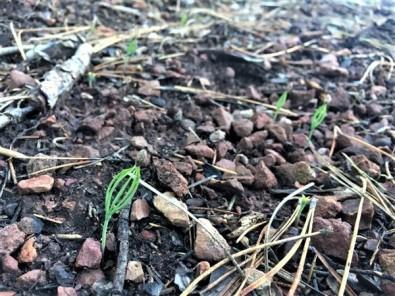 Toprakla Buluşan Karaçam Tohumlarında İlk Çimlenmeler