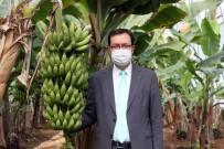 Türkiye´Nin Muz Üretimi Ar-Ge İle Katlanarak Artıyor