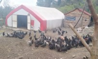 Tavukları Çalınan Kadın Çiftçi, Hırsıza 'Allah İki Yakasını Bir Araya Getirttirmesin' Bedduası