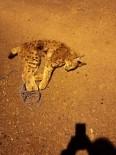 Ölü Bulunan Vaşak İle İlgili Soruşturma Başlatıldı