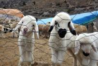 Süt Kuzuları Günde 2 Defa Anneleriyle Buluşturuluyor
