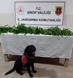 Sinop'ta 9 Kök Kenevir Ele Geçirildi