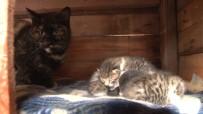 'Kestane'den 'İnsanlık' Dersi, Üç Yavru Kediye Süt Annelik Yapıyor