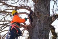 Zamanın 5 Asırlık Sessiz Tanıkları Türk Fındığı Ağaçları
