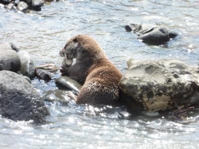 Artvin'de Su Samuru Balık Yerken Görüntülendi