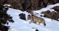 Kurdun Dağ Keçisi Avı Kameraya Yansıdı