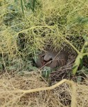SENOBA - Belediye Baskani Keklik Avini Yasakladi Her Yer Keklik Yuvasiyla Doldu