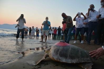 Yesil Deniz Kaplumbagasi 'Talay' Tedavisinin Ardindan Uydudan Izlenecek