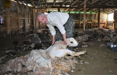 Bayburt'ta Havalarin Isinmasiyla Birlikte Besiciler, Koyun Kirkma Islemine Devam Ediyor