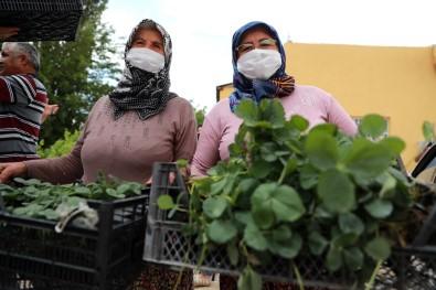 Çiftçilere Organik Tarim Egitimi Verildi, Çilek Ve Adaçayi Fidesi Dagitildi