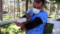 KEÇİ - Çorum'da Ormanda Bulunan 2 Aylik Karaca Yavrusu Koruma Altina Alindi