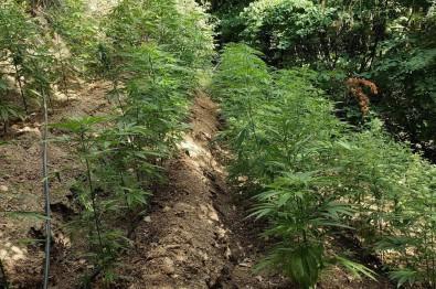 Hatay'da Ormanlik Alanda 5 Bin 612 Bitkisi Kenevir Bitkisi Ele Geçirildi