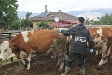 (Özel) Erzincan'da Hayvanlar Kenelere Karsi Ilaçlaniyor