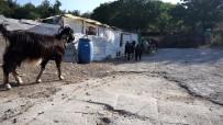 KEÇİ - Foça'da Kara Keçi Sayisi Azaldi