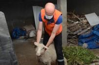 Yabani Hayvanlarin Saldirisina Ugrayan Kuzu Sahibine Teslim Edildi