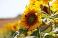 GÜBRE - Samsun Çiftçisine 18,4 Milyon TL Yagli Tohumlu Bitkiler Fark Ödemeleri Destegi