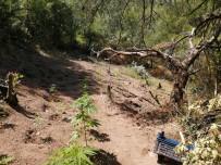 SOMA - Ormanlik Alana Ekili 297 Kök Kenevir Ele Geçirildi