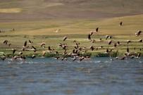 ERÇEK GÖLÜ - Türkülere Konu Olan Alli Turnalar Van Gölü Havzasini Renklendirdi