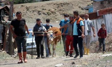 Erzurum'da Kaçan Kurbanliklar Ortaligi Birbirine Katti