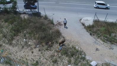 (ÖZEL) Sultangazi'de Kaçan Kurbanligi Yakalama Çabasi Drone Ile Görüntülendi