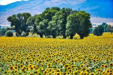 Sarisi Gün Isigiyla Bulusan Ayçiçegi Tarlalari Görenleri Büyülüyor