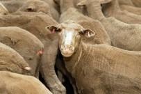 HAYVAN - Yeni Zelanda'da 226 Koyuna Hastalik Nedeniyle Ötenazi Yapildi