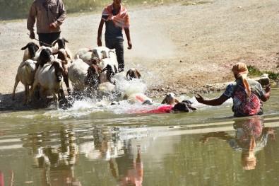 Asirlik Gelenek Basladi, Kinali Koçlar Suya Atlamak Için Siralandi