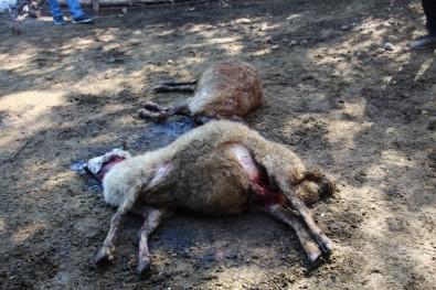 Oltu'da Kurt Dehseti Açiklamasi 40 Koyunu Telef Etti, 6 Koyunu Yaraladi