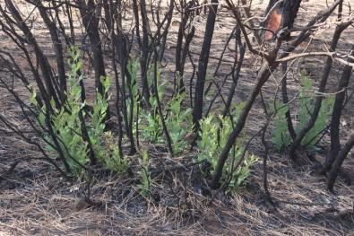Orman Yangininda Yanan Agaçlarin Kökleri Filizlendi