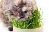 YAVRU KEDİLER KEDİ OTU YİYEBİLİR Mİ - Kediler Neden Ot Yer? Kedi Otu Nedir?