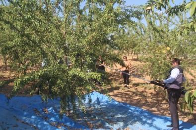 Elazig'da 'Organik Badem Hasat Etkinligi' Düzenlendi
