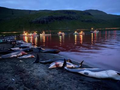 Faroe Adalari'ndaki 'Festivalde' Bin 428 Balina Ve Yunus Öldürüldü