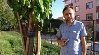 Imam 20 Yildir Dogada Gördügü Meyve Agaçlarini Asiliyor
